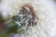 Dandelion inside Royalty Free Stock Photography