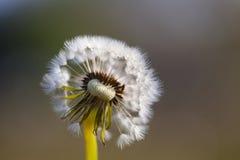 Dandelion inside Royalty Free Stock Image