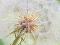 Dandelion inside,macro photography Stock Photo