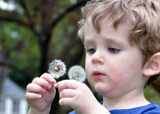 Dandelion Inspection. A two-year-old toddler holds a dandelion up for an examination Stock Images