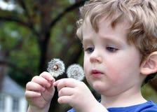 Dandelion Inspection Stock Images