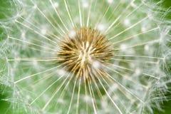 Dandelion Interior Close Stock Images