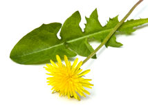 Dandelion Isolated. Dandelion flower and leaf isolated on white background royalty free stock photos