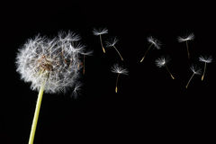 Dandelion isolated Stock Image