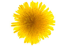 Dandelion isolated. On a white background royalty free stock photo