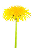 Dandelion isolated. On a white background royalty free stock images