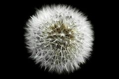 A dandelion isolated against a black background. A beautiful dandelion with seeds isolated against a black background stock photos