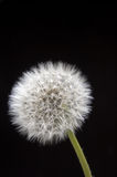 Dandelion Isolated on Black. Dandelion seed head isolated on dark background stock photography