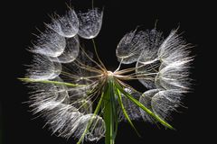 Dandelion isolated on dark background. Abstract maco photo of dandelion seeds close up. Dandelion isolated on black background. Abstract maco photo of dandelion stock photos