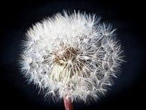 Dandelion isolated on black background. One dandelion isolated on a black background royalty free stock photography