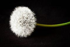 Dandelion isolated on black background. One dandelion isolated on a black background stock image