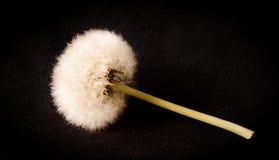 Dandelion isolated on black background. One dandelion isolated on a black background royalty free stock photo