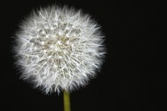 Dandelion Isolated Black Seed Stock Photos