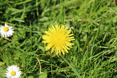 Dandelion isolated. With a green grass background stock images