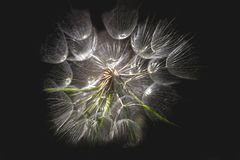 Dandelion isolated on dark background. Abstract maco photo of dandelion seeds close up. Dandelion isolated on black background. Abstract maco photo of dandelion stock photography