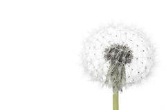 Free Dandelion Isolated On White Royalty Free Stock Photo - 70773335