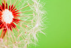 Dandelion isolated over green. Background stock images