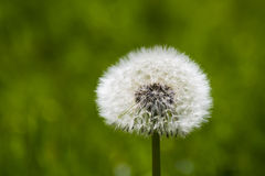 Dandelion. Isolated overblown dandelion on meadow with green grass royalty free stock photo
