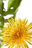 Dandelion isolated on white. Close up stock image