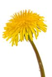 Dandelion isolated on white. Background with water drop royalty free stock image