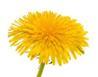 Dandelion isolated. On a white background stock photography