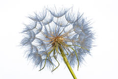 Dandelion isolated on a white background. Dandelion isolated on white background, close up royalty free stock photography