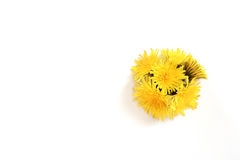 Dandelion isolated on the white background, copyspace. Spring abstract royalty free stock photography