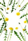 Dandelion isolated on white background. Top view, copy space stock images