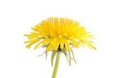 Dandelion isolated on a white background. Dandelion flower isolated on a white bakkground stock image
