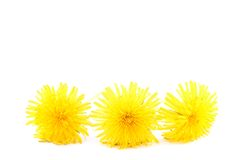 Dandelion isolated on a white bakkground. Dandelion flower isolated on a white background stock photography