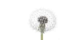 Dandelion isolated on white. Fluffy dandelion isolated on white background, macro royalty free stock photo