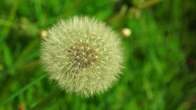 Dandelion. 4K. Dandelion against the sky. Shot in 4K (ultra-high definition (UHD)), so you can easily crop, rotate and zoom, without losing quality! Real time stock video footage