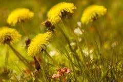 Dandelion łąka Obraz Royalty Free