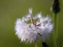 Dandelion kissed by the dew royalty free stock photography