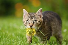 Dandelion kitten Royalty Free Stock Photos