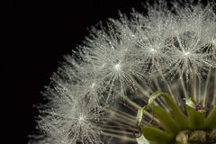 dandelion kropel woda Zdjęcie Stock