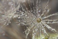 dandelion kropel woda Zdjęcia Stock