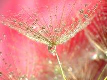 dandelion krople Zdjęcie Stock