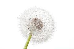 dandelion krople obraz stock