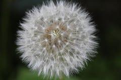 Dandelion który więdnął ziarna i dać Zdjęcia Stock
