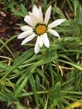 Dandelion kwiat zdjęcia stock