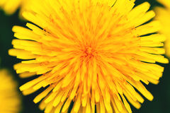 Dandelion kwiat obraz stock