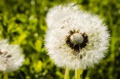 Dandelion kwiat Obrazy Stock
