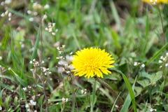 Dandelion kwiat - lecznicza ro?lina zdjęcia stock