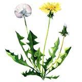 Dandelion kwiat odizolowywający na białym tle Zdjęcia Royalty Free