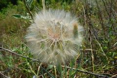 Dandelion kwiat przygotowywa uwalniać swój ziarna wiatr obraz royalty free