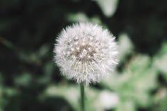 Dandelion kwiat w Makro- strzale zdjęcie royalty free