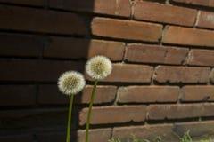 Dandelion kwiat w puszka miasteczku Zdjęcia Royalty Free