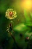 Dandelion kwiat w zmierzchu świetle Fotografia Stock