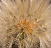 Dandelion kwiat z ziarno piłki zakończeniem up brązowy linii abstrakcyjne tła zdjęcie foursquare widok Zdjęcie Royalty Free